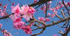 台湾樱桃 樱花 樱桃树