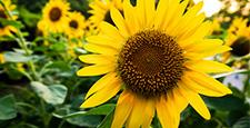 여름, 해바라기, 꽃