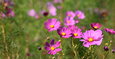 cosmos, cosmea, bloom
