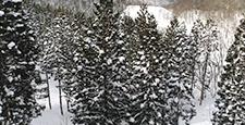 wood, japanese cedar, pinetree