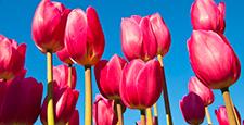 郁金香 郁金香花丛 花园