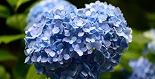 心型绣球花