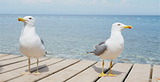 Pair of seagulls on wooden pier. Blue sea on background. Turkey.