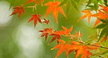 Autumn foliage fresh green