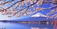 Fuji and cherry blossoms in full bloom