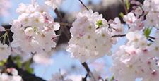 Cherry blossoms (fix)
