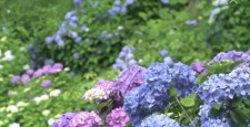 Hydrangea (focus move shooting)