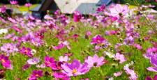 「太陽の丘えんがる公園 コスモス園」 北海道