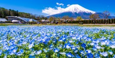 (Yamanashi Prefecture) From the city park with blooming nemophila flowers, Mt. Fuji