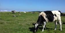 牛在吃[夏季三原原牧场]