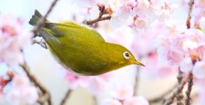Early spring cherry blossoms and Japanese white-eye
