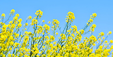 With blue sky and rape blossoms