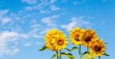 sunflower, sunflowers, bloom