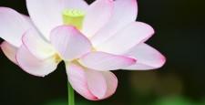 大賀ハスの花
